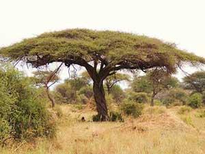 Acacia Tortilus